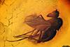 http://mczbase.mcz.harvard.edu/specimen_images/entomology/paleo/large/PALE-9008_Dolichopodidae.jpg