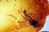 http://mczbase.mcz.harvard.edu/specimen_images/entomology/paleo/large/PALE-9011_syn1_Culicoides_filipalpis.jpg