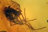 http://mczbase.mcz.harvard.edu/specimen_images/entomology/paleo/large/PALE-9011_syn2_Ceratopogonidae.jpg