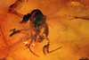 http://mczbase.mcz.harvard.edu/specimen_images/entomology/paleo/large/PALE-9020_syn1_Culicoides_agamus_holotype.jpg