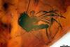 http://mczbase.mcz.harvard.edu/specimen_images/entomology/paleo/large/PALE-9020_syn2_Culicoides_agamus_paratype.jpg