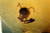 http://mczbase.mcz.harvard.edu/specimen_images/entomology/paleo/large/PALE-9022_Heleageron_arenatus_1_allotype.jpg