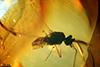 http://mczbase.mcz.harvard.edu/specimen_images/entomology/paleo/large/PALE-9025_Peronehelea_chrimikalydia_paratype_1.jpg