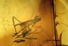 http://mczbase.mcz.harvard.edu/specimen_images/entomology/paleo/large/PALE-9025_Peronehelea_chrimikalydia_paratype_2.jpg