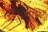 http://mczbase.mcz.harvard.edu/specimen_images/entomology/paleo/large/PALE-9027_Mycetophilidae.jpg