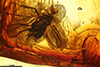 http://mczbase.mcz.harvard.edu/specimen_images/entomology/paleo/large/PALE-9065_Dolichopodidae.jpg