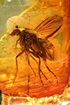 http://mczbase.mcz.harvard.edu/specimen_images/entomology/paleo/large/PALE-9065_syn1_Dolichopodidae.jpg