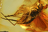 http://mczbase.mcz.harvard.edu/specimen_images/entomology/paleo/large/PALE-9066_Dolichopodidae.jpg