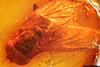 http://mczbase.mcz.harvard.edu/specimen_images/entomology/paleo/large/PALE-9076_Spheginascia_biappendiculata.jpg
