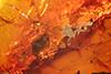 http://mczbase.mcz.harvard.edu/specimen_images/entomology/paleo/large/PALE-9078_Dolichopodidae.jpg