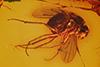 http://mczbase.mcz.harvard.edu/specimen_images/entomology/paleo/large/PALE-9079_Dolichopodidae.jpg