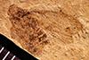 http://mczbase.mcz.harvard.edu/specimen_images/entomology/paleo/large/PALE-907_Palecphora_marvinei_type.jpg