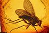 http://mczbase.mcz.harvard.edu/specimen_images/entomology/paleo/large/PALE-9111_Dolichopodidae.jpg