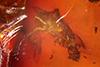 http://mczbase.mcz.harvard.edu/specimen_images/entomology/paleo/large/PALE-9112_Nematocera.jpg