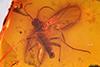 http://mczbase.mcz.harvard.edu/specimen_images/entomology/paleo/large/PALE-9121_Sciaridae.jpg