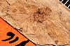 http://mczbase.mcz.harvard.edu/specimen_images/entomology/paleo/large/PALE-916_Palecphora_communis_type.jpg