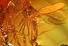 http://mczbase.mcz.harvard.edu/specimen_images/entomology/paleo/large/PALE-9199_Chironomidae.jpg