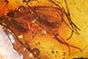 http://mczbase.mcz.harvard.edu/specimen_images/entomology/paleo/large/PALE-9220_syn2_Mycetophilidae.jpg