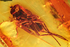 http://mczbase.mcz.harvard.edu/specimen_images/entomology/paleo/large/PALE-9238_Dolichopodidae.jpg
