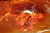 http://mczbase.mcz.harvard.edu/specimen_images/entomology/paleo/large/PALE-9244_Syrphidae.jpg