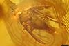 http://mczbase.mcz.harvard.edu/specimen_images/entomology/paleo/large/PALE-9251_Dolichopodidae.jpg