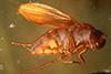 http://mczbase.mcz.harvard.edu/specimen_images/entomology/paleo/large/PALE-9338_Dolichopodidae.jpg