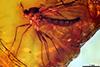 http://mczbase.mcz.harvard.edu/specimen_images/entomology/paleo/large/PALE-9353_Mycetophilidae.jpg