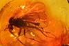 http://mczbase.mcz.harvard.edu/specimen_images/entomology/paleo/large/PALE-9355_Mycetophilidae.jpg