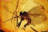 http://mczbase.mcz.harvard.edu/specimen_images/entomology/paleo/large/PALE-9359_Mycetophilidae.jpg