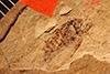 http://mczbase.mcz.harvard.edu/specimen_images/entomology/paleo/large/PALE-935_Palecphora_praevalens_type_1.jpg