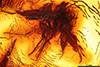 http://mczbase.mcz.harvard.edu/specimen_images/entomology/paleo/large/PALE-9360_Mycetophilidae.jpg