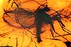 http://mczbase.mcz.harvard.edu/specimen_images/entomology/paleo/large/PALE-9363_syn4_Mycetophilidae.jpg
