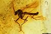 http://mczbase.mcz.harvard.edu/specimen_images/entomology/paleo/large/PALE-9368_Mycetophilidae.jpg