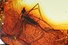http://mczbase.mcz.harvard.edu/specimen_images/entomology/paleo/large/PALE-9378_Tipulomorpha.jpg