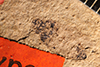 http://mczbase.mcz.harvard.edu/specimen_images/entomology/paleo/large/PALE-938_Palecphora_praevalens_type_1.jpg