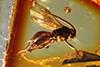 http://mczbase.mcz.harvard.edu/specimen_images/entomology/paleo/large/PALE-9394_Braconidae.jpg