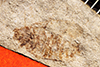 http://mczbase.mcz.harvard.edu/specimen_images/entomology/paleo/large/PALE-939_Palecphora_praevalens_type.jpg