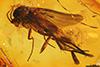 http://mczbase.mcz.harvard.edu/specimen_images/entomology/paleo/large/PALE-9402_Mycetophilidae.jpg
