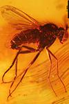 http://mczbase.mcz.harvard.edu/specimen_images/entomology/paleo/large/PALE-9417_Dolichopodidae.jpg