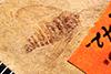 http://mczbase.mcz.harvard.edu/specimen_images/entomology/paleo/large/PALE-942_Palecphora_praevalens_type.jpg