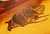 http://mczbase.mcz.harvard.edu/specimen_images/entomology/paleo/large/PALE-9431_Dolichopodidae.jpg