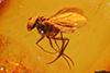 http://mczbase.mcz.harvard.edu/specimen_images/entomology/paleo/large/PALE-9432_Dolichopodidae.jpg