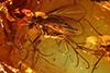 http://mczbase.mcz.harvard.edu/specimen_images/entomology/paleo/large/PALE-9441_syn1_Mycetophilidae.jpg