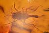http://mczbase.mcz.harvard.edu/specimen_images/entomology/paleo/large/PALE-9447_Chironomidae.jpg