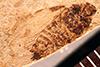 http://mczbase.mcz.harvard.edu/specimen_images/entomology/paleo/large/PALE-945_Palecphora_praevalens_type.jpg