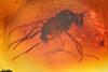 http://mczbase.mcz.harvard.edu/specimen_images/entomology/paleo/large/PALE-9498_Dolichopodidae.jpg