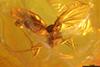 http://mczbase.mcz.harvard.edu/specimen_images/entomology/paleo/large/PALE-9499_syn1_Mycetophilidae.jpg