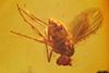 http://mczbase.mcz.harvard.edu/specimen_images/entomology/paleo/large/PALE-9522_Dolichopodidae.jpg