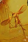 http://mczbase.mcz.harvard.edu/specimen_images/entomology/paleo/large/PALE-9527_Mycetophilidae.jpg