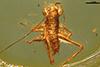 http://mczbase.mcz.harvard.edu/specimen_images/entomology/paleo/large/PALE-9547_Orthoptera_nymph.jpg